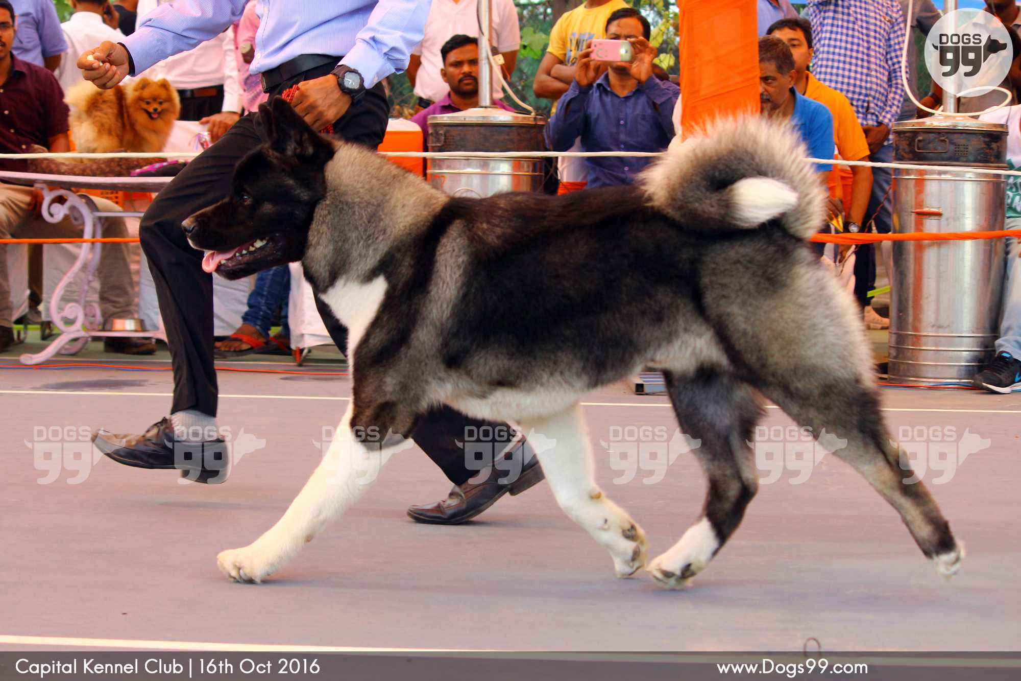 Kennel Club Show Dogs