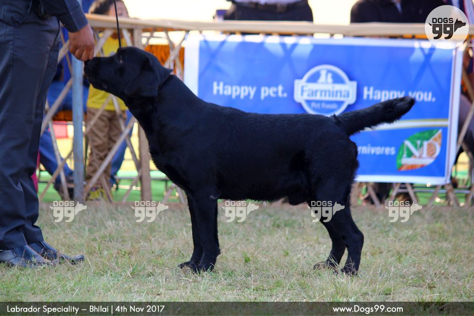 labrador retriever india