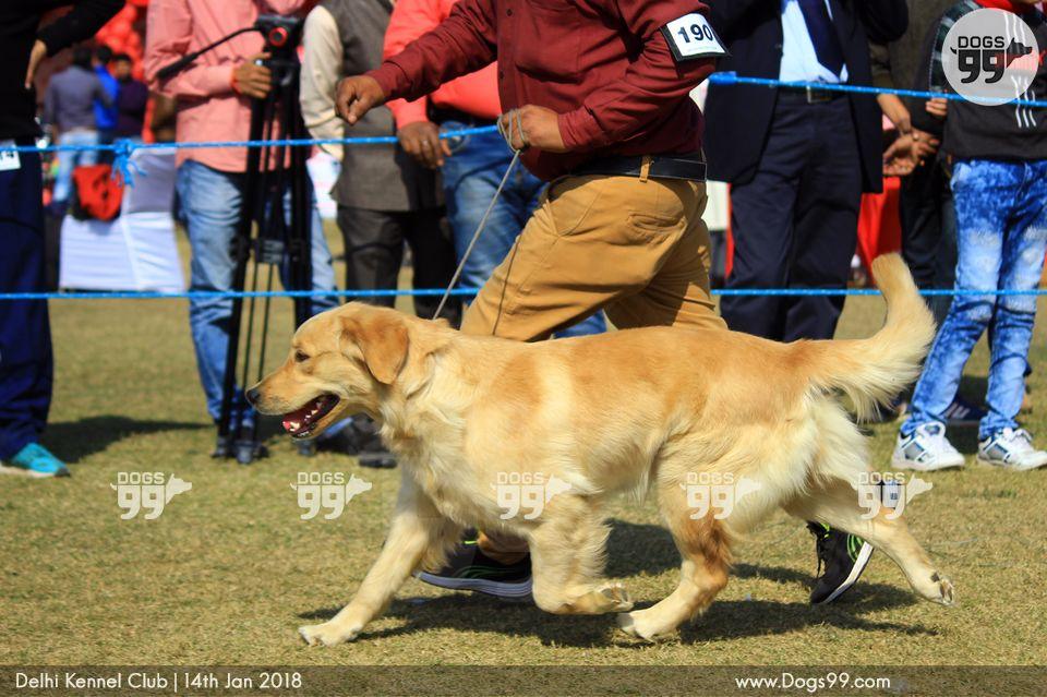 Delhi Dog Show 2018 197 Dog Shows