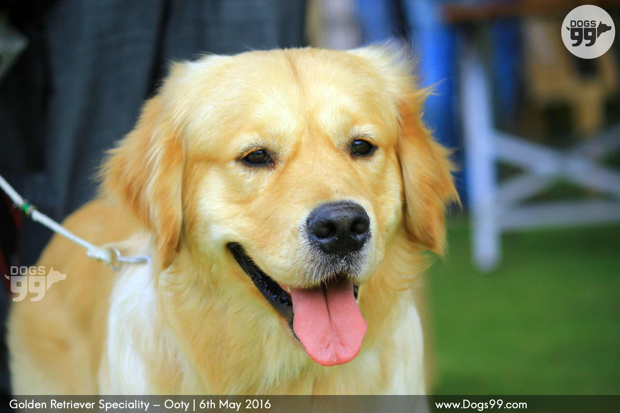 Golden Retriever Speciality Ooty 2016 95 Dog Shows